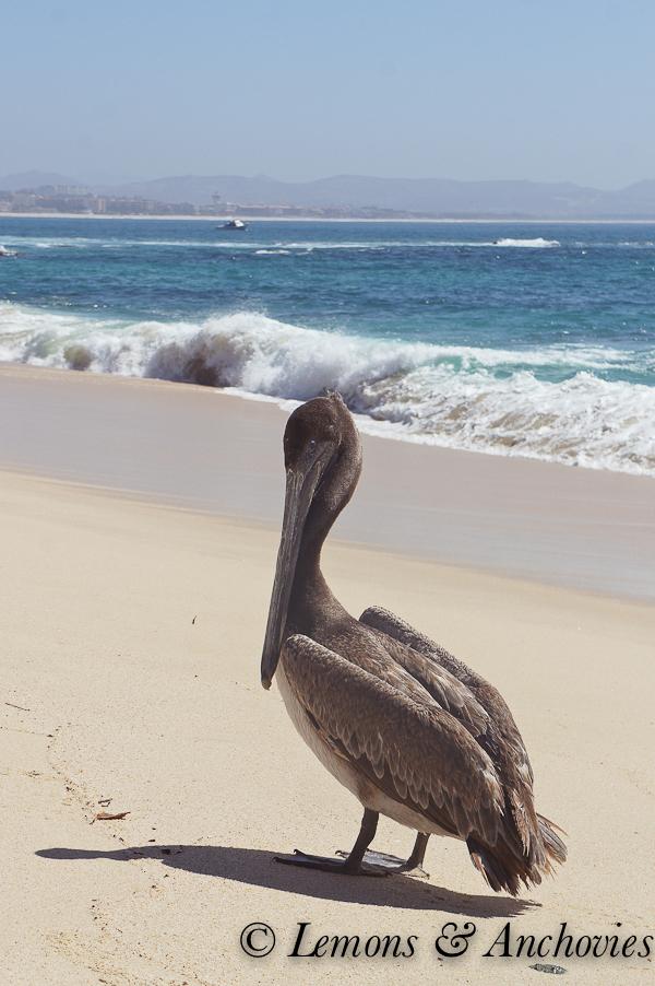 Pelican: Los Cabos, Mexico | http://lemonsandanchovies.com