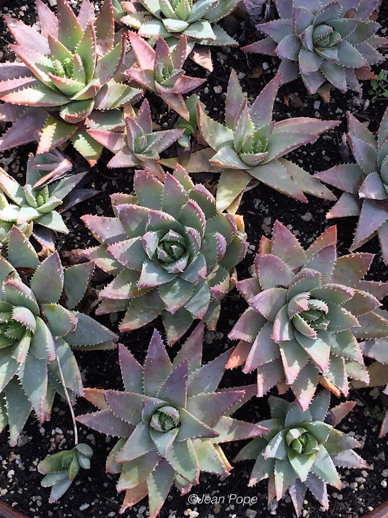 AloeBrevifolia